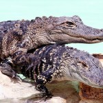 alligators in love